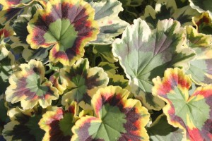 January - Geranium - variegata