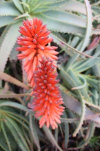 Feb - Aloe Flower