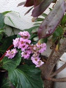 February Bergenia wordless wednesday