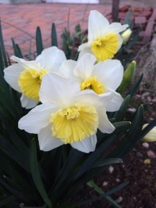 February Daffodil wordless wednesday