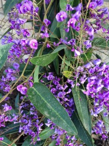 February Hardenbergia wordless wednesday