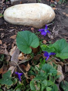 February Viola wordless wednesday