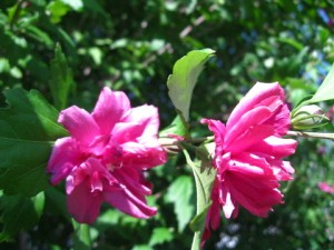 July - Hybiscus syriacus (Rose of Sharon)