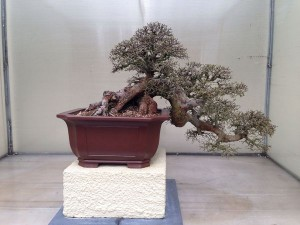 March - Bonsai Elm