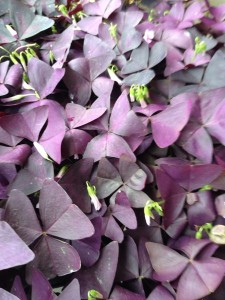 March - Oxalis