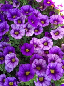 April - Calibrachoa