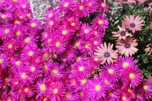 April - Delosperma - Osteospermum