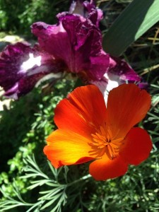 April - Iris meets California Poppy