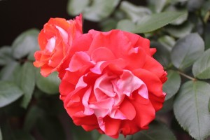 April Red red rose
