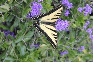 Duranta with Swallowtail