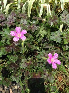June - Geranium 'Miss Heidi