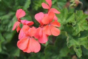May - Pelargonium