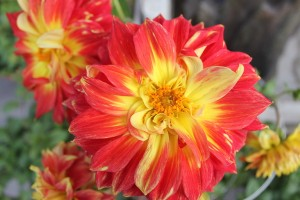 May - Red & Yellow Dahlia