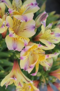July - Alstroemeria
