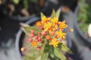 July - Asclepias