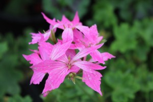 June Pelargonium