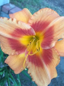 August- Day Lily