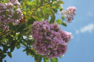 Crape Myrtle Close Up