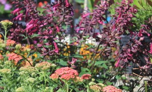 July - Achillea & Salvia 'Wendy's Wish'