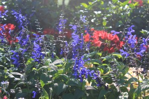 July - Salvia Black & Blue