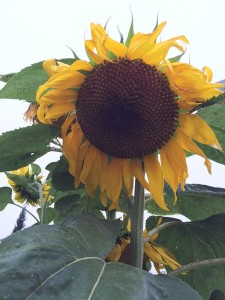July - Sunflower