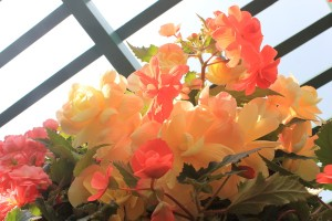 August - Begonias (aglow)
