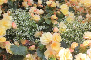 August - Yellow Begonias w-Euphorbia 'Diamond Frost'