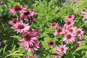 September - Echinacea