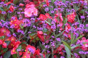 September -Verbena rigida with Begonias