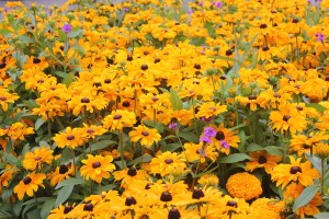September -Verbena rigida with Rudbeckia
