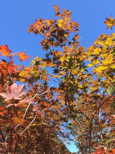 September - Maple Leaf Sky