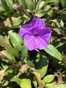 September - Ruellia