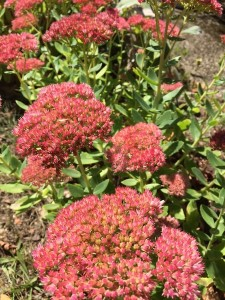 September - Sedum Autumn Joy