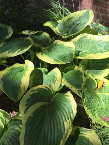 Septmeber Hostas