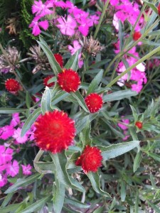 October - Gomphrea and Dianthus, Portland, Maine