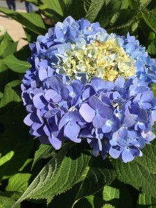 October - Hydrangea, Portland, Maine