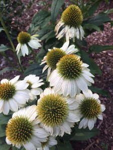 October - White Echinacea, Westport, Connecticut