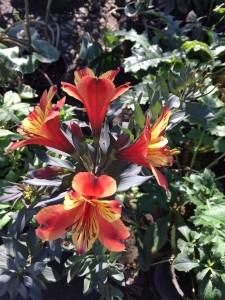 Dec - Alstroemeria