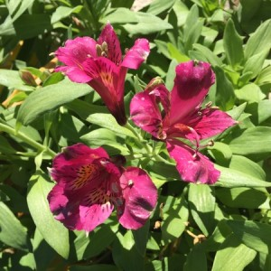 Dec - Alstroemeria burgundy
