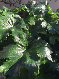January - Wordless Wednesday - Acanthus mollis