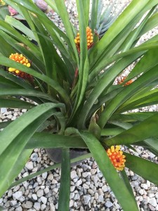January - Wordless Wednesday Aechmea 2