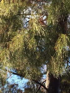 January - Wordless Wednesday - Pine after Rain