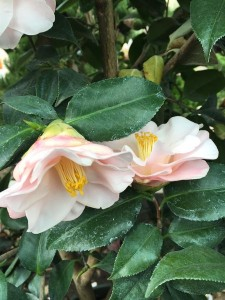 February - Wordless Wednesday Camellia japonica 'Magnoliaeflora'