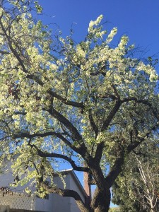 February - Wordless Wednesday Flowering Pear 2