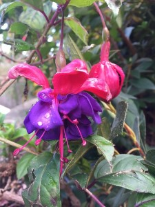 February - Wordless Wednesday Fuschia