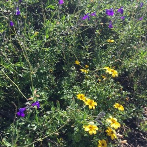 March - Wordless Wednesday Bidens w-Salvia greggii
