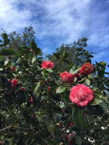 March - Wordless Wednesday Camellia Sky