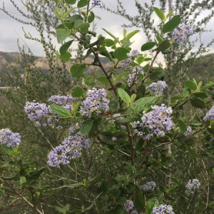 March - Wordless Wednesday - Ceanothus Sky