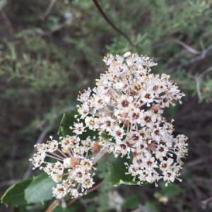 March - Wordless Wednesday Ceanothus crassifolius