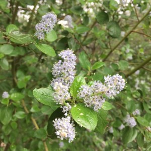 March - Wordless Wednesday Ceanothus oliganthus